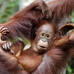 Orangutan, Borneo, Indonesia