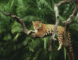 Jaguar, Amazon, Brazil