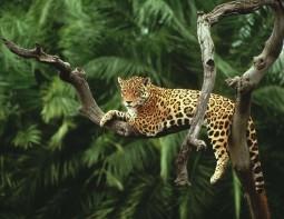 Jaguar, Amazon, Brazil